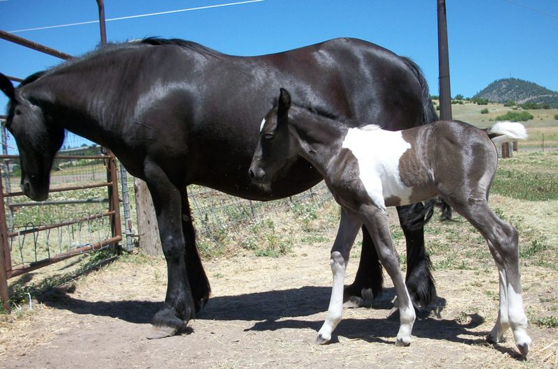 Selkie and her foal to a paint stallion